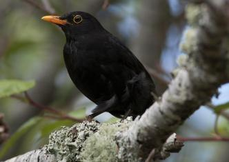 1200593Common_Blackbird_20101121_Herne_Bay_NZ_3